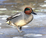 Common Teal - Anas crecca