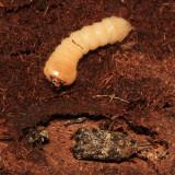Graphisurus fasciatus larva