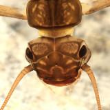 Perlodid Stoneflies - Perlodidae