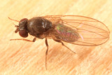 Drosophila sp.