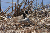 Canada Goose - Branta canadensis (on a nest)