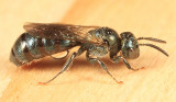 Ceratina Subgenus Zadontomerus