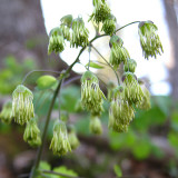 Early Meadow Rue - Thalictrum dioicum