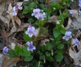 Great-spurred Violet - Viola selkirkii