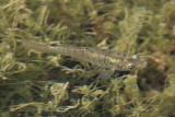 Banded Killifish - Fundulus diaphanus
