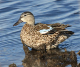 Blue-winged Teal - Anas discors (female)