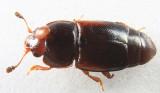 Carpophilus corticinus