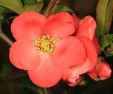 Flowering Quince - Chaenomeles speciosa