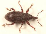 Hylobius congener