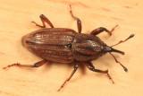 Sphenophorus venatus venatus