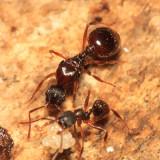 subgenus Attomyrma