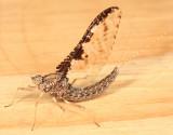 Callibaetis ferrugineus ferrugineus