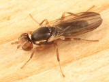 Clusiodes ater