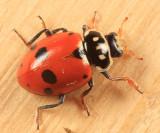 Variegated Lady Beetle - Hippodamia variegata