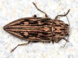 Metallic Wood-boring Beetles - Genus Chalcophora