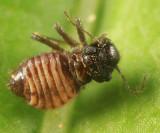 Reuterella helvimacula