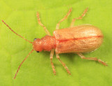 Syneta ferruginea