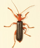 Pacificanthia rotundicollis