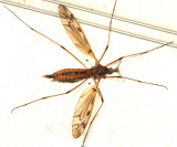 Tipula fuliginosa (female)