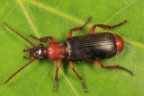 Ground Beetles - Tribe Helluonini