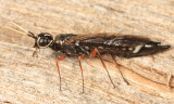 Xiphydria maculata