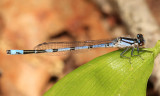 New England Bluet - Enallagma laterale