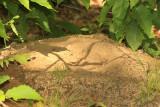 Ruffed Grouse sand bath