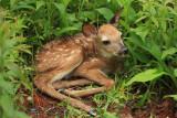 White-tailed Deer (fawn) - Odocoileus virginianus