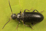 Pedilus canaliculatus (female)