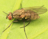 Root-Maggot Fly