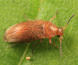 False Flower Beetles - Scraptiidae
