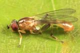 Sphegina sp. (male)