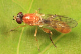 Sphegina sp. (female)
