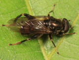 Chalcosyrphus libo