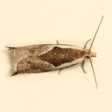 3355 - Ancylis subaequana