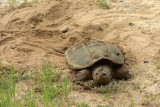 Common Snapping Turtle - Chelydra serpentina