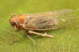 Muirodelphax arvensis