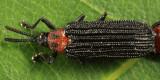 Chalepus bicolor