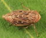 Leafhoppers genus Extrusanus
