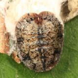 Cottony Scale - Pulvinaria