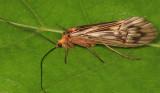 Hydatophylax argus