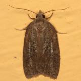 3748 - Amorbia humerosana