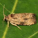 2817 - Raspberry Leafroller Moth - Olethreutes permundana