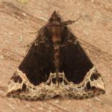 8445 - White-lined Bomolocha - Hypena abalienalis