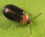 Nyholmia collaris (male)