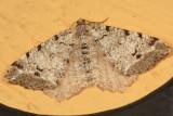 6347 - Macaria pinistrobata