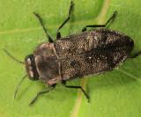 Metallic Wood-boring Beetles - Genus Anthaxia