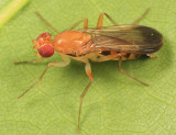 Clusiidae Flies