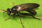 Eudioctria albius (male)