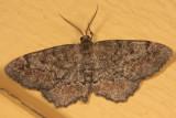 6654-55 Hypagyrtis unipunctata species group